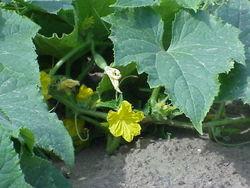 Agurkeplante: Blomst og blade.