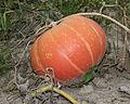 Cucurbita maxima 2012 G1.jpg