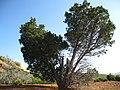 Cupressus forbesii at Coal Canyon-Sierra Peak, Orange County - Flickr - theforestprimeval (22).jpg