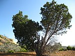 Cupressus forbesii at Coal Canyon-Sierra Peak, Orange County - Flickr - theforestprimeval (22).jpg