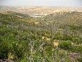 Cupressus forbesii at Coal Canyon-Sierra Peak, Orange County - Flickr - theforestprimeval (3).jpg