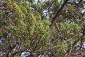 Cupressus macrocarpa Villeneuve-lès-Maguelone 01.jpg