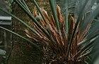 Cycas circinalis female sporophyls with one seed plus unfertilized eggs in Prague.jpg
