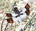 DESERT WHITETAIL (Libellula subornata) (6-5-13) nye co, nevada -03 (9059975840).jpg