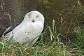 DSC00623 - Snowy Owl (7693384992).jpg