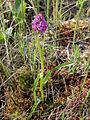Dactylorhiza incarnata ssp. incarnata Kiiminki, Finland 16.06.2013.jpg
