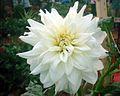 Dahlia flower 6.JPG