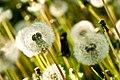 Dandelion Patch (2648571373).jpg