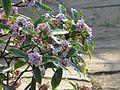 Daphne odora Aureomarginata - Flickr - peganum.jpg