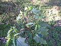 Datura stramonium plant1 (13833986014).jpg