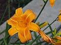Daylilies Unknown - 9335911355.jpg