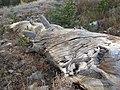 Dead tree - spiral (3090854438).jpg