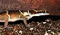Deccan Banded Gecko Geckoella deccanensis by Dr. Raju Kasambe DSCN7960 (39).jpg