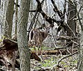 Deer (7144044303).jpg