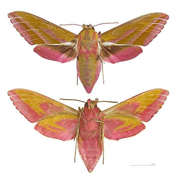 Ficheiro:Deilephila elpenor MHNT.jpg