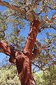 Denuded cork oak (2874384025).jpg