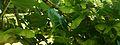 Des feuilles d'un arbre à Miramont-de-Guyenne sous la chaleur de juillet.jpg