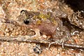 Desert froglet.jpg