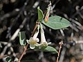 Desert snowberry, Symphoricarpos longiflorus (49107895193).jpg