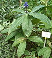 Dichorisandra thyrsiflora BotGardBln07122011A.jpg