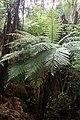 Dicksonia squarrosa kz1.jpg