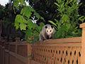 Didelphis virginiana westerncanada2007.jpg