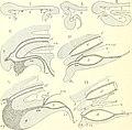 Die säugetiere. Einführung in die anatomie und systematik der recenten und fossilen Mammalia (1904) (20947658035).jpg