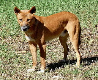 Myall Lakes National Park - Image: Dingo Front