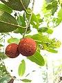 Diospyros malabarica- Indian persimmon, Panachi.jpg