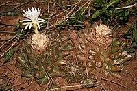 Discocactus hartmannii ssp. giganteus PJ Braun et Esteves Mato Grosso do Sul, Brasil.JPG