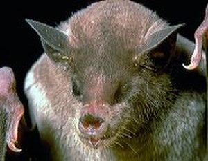 Lesser long-nosed bat - Lesser long-nosed bat