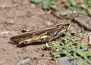 <i>Dociostaurus maroccanus</i> Species of grasshopper