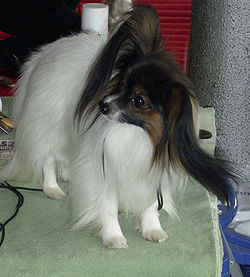 Papillon Top Sexy Dogs