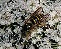Dolichovespula sylvestris^ (male) - Flickr - S. Rae (1).jpg