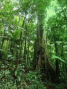 Dominica, Karibik - At Treelevel through the Rainforest - panoramio.jpg