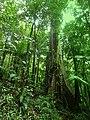 Dominica, Karibik - At Treelevel through the Rainforest - panoramio.jpg