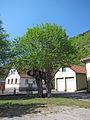 Dorflinde in Engenthal.jpg