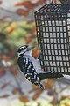 Downy Woodpecker (10655243963).jpg