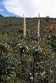 Dracophyllum verticillatum 2 (scott.zona).jpg