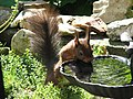 Drinking squirrel in the garden of the Menthenberg patio houses near Hoge Erf at Arnhem-Schaarsbergen - panoramio.jpg