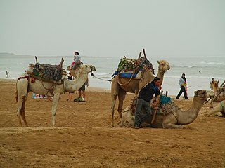 Le Dromadaire et sa bosse dans CHAMEAU - DROMADAIRE 320px-Dromedary_Essaouira_Beach