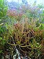 Drosera magnifica02.jpg