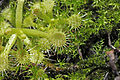 Drosera rotundifolia Linnaeus, 1753 300-3-9804.JPG