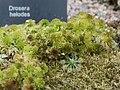 Droseraceae Drosera helodes 1.jpg