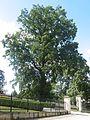 Dub letní v zámecké parku, Boskovice.jpg