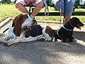 Duo basset hound & teckel.jpg