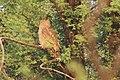 Dusky Eagle Owl.jpg