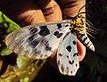 Dysphania percota - The Blue Tiger Moth 01.JPG