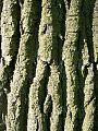 Eastern Cottonwood (Populus deltoides) bark - Flickr - Jay Sturner.jpg