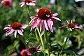 Echinacea purpurea Indiaca 1zz.jpg